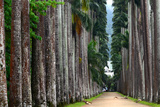 The Palm Alley In The Botanical Garden In Rio De Janeiro Photographic Print by  xura