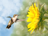 Dreamy Image Of A Hummingbird Next To A Sunflower Posters by Sari ONeal