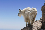 Mountain Goat On A High Mountain Ledge Posters by  Blueiris