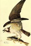 Audubon Osprey Bird Poster Prints
