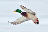 Mallard Duck Flying Reproduction photographique par geanina bechea