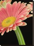Gerbera Flowers Stretched Canvas Print by Maggie Sale