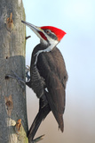 Pileated Woodpecker Photographic Print by Brian Lasenby