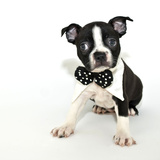 Boston Terrier Puppy Prints by  JStaley401