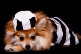Pomeranian Prisoner Photographic Print by  yarndoll