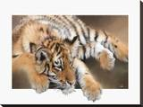 Tiger Cub Stretched Canvas Print by Paul Miners