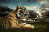 Tiger Looking And Sitting Under Dramatic Sky With Clouds Posters by  yuran-78