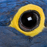 Hyacinth Macaw, 1 Year Old, Close Up On Eye Photographic Print by  Life on White