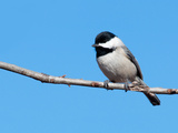 Carolina Chickadee Perched In A Tree Against Clear Blue Winter Sky Photographic Print by Sari ONeal
