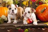English Bulldogs And A Pumpkin Photo by  Lilun