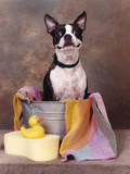 Boston Terrier In A Tub Photographic Print by  Blueiris
