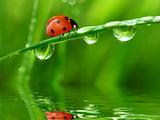 Fresh Morning Dew And Ladybird Fotografisk tryk af volrab vaclav