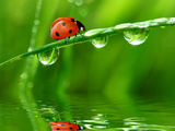 Fresh Morning Dew And Ladybird Photographic Print by volrab vaclav