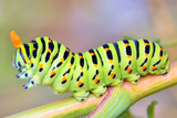Details Of Papilio Machaon Caterpillar Poster by laurentiu iordache