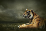 Tiger Looking And Sitting Under Dramatic Sky With Clouds Fotodruck von  yuran-78