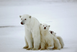 Polar She-Bear With Cubs Photographic Print by  SURZ