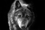 Wolf Photo by Brian Dunne