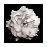 Garden Rose The Beauty In The Simple Photographic Print by Alaya Gadeh