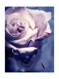 Charming Lavender Rose Photographic Print by Alaya Gadeh