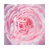 Delicious Pink Rose Fotografie-Druck von Alaya Gadeh