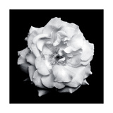 Gaden Rose B and W Photographic Print by Alaya Gadeh