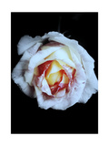 Color Heart Rose Photographic Print by Alaya Gadeh