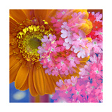 Pink Orange Gerger Daisy Square Photographic Print by Alaya Gadeh