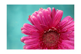 Pink Gerber Daisy Poster by Alaya Gadeh