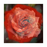 Rosy Red Photographic Print by Alaya Gadeh