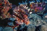 Lionfish at Daedalus Reef (Abu El-Kizan), Red Sea, Egypt Photographic Print by Ali Kabas