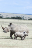 White Rhinoceros Mother with Calf, Kenya Photographic Print by Martin Zwick