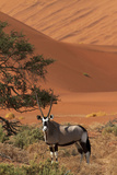 Gemsbok and Sand Dunes, Namib-Naukluft National Park, Namibia Photographic Print by David Wall