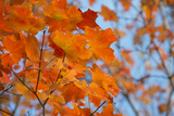 Colorful Orange Fall Maple Tree Leaves, Quebec City, Quebec, Canada Photographic Print by Cindy Miller Hopkins