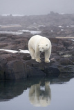 Polar Bear, Spitsbergen, Svalbard, Norway Photographic Print by Steve Kazlowski