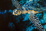 Hawksbill Sea Turtle at Panorama Reef, Red Sea, Egypt Photographic Print by Ali Kabas