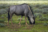 Blue Wildebeest, Etosha National Park, Namibia Photographic Print by David Wall