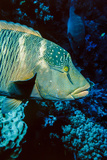 Humphead Wrasse with Soft Corals at Elphinstone Reef, Red Sea, Egypt Photographic Print by Ali Kabas