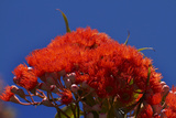Orange Flowers on Table Mountain, Cape Town, South Africa Photographic Print by David Wall