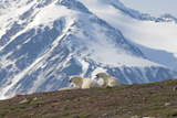 Polar Bear Family Rest on Island, Spitsbergen, Svalbard, Norway Photographic Print by Steve Kazlowski