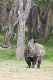 White Rhinoceros, Kenya Photographic Print by Martin Zwick