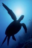 Sea Turtle, Kapalai Island Resort (East), Malaysia Photographic Print by Ali Kabas