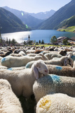 Sheep in the Alps Between South Tyrol, Italy, and North Tyrol, Austria Fotografisk trykk av Martin Zwick