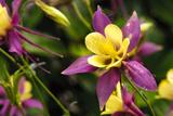 Close-Up of Purple and Yellow Columbine Flower Photographic Print by Matt Freedman