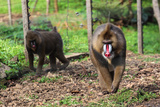 Mandrills at Limbe Wildlife Center, Limbe, Cameroon Photographic Print by Alida Latham