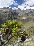 Giant Groundsel in the Mount Kenya National Park, Kenya Photographic Print by Martin Zwick