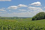Corn Field, Nebraska, USA Fotodruck von Michael Scheufler