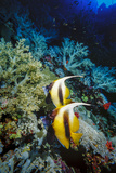 Pair of Red Sea Bannerfish at Daedalus Reef, Red Sea, Egypt Photographic Print by Ali Kabas