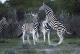 Burchell's Zebra Fighting, Etosha National Park, Namibia Photographic Print by David Wall