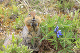 Arctic Ground Squirrel, Kongakut River, ANWR, Alaska, USA Photographic Print by Tom Norring