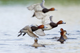 Redhead Duck Flock Flying from Freshwater Pond, Texas, USA Photographic Print by Larry Ditto